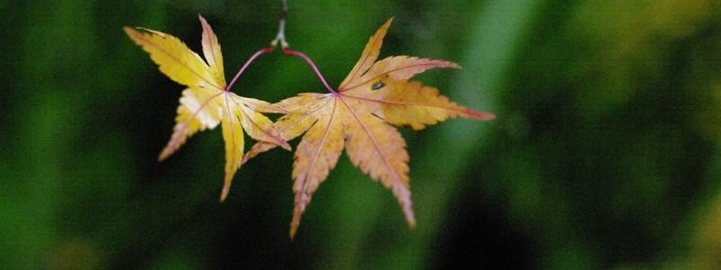 Twin_leaves.JPG